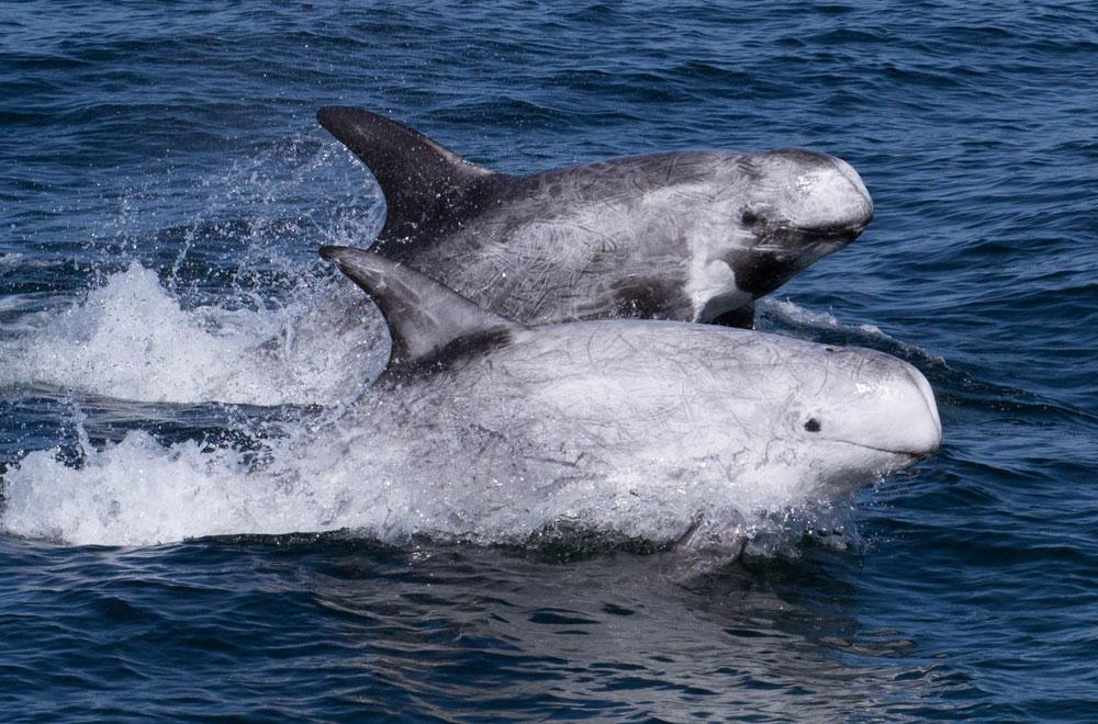 Rissos dolphin - photo#30