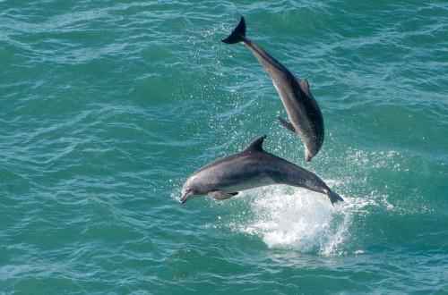 Bottlenose Dolphins in Monterey Bay