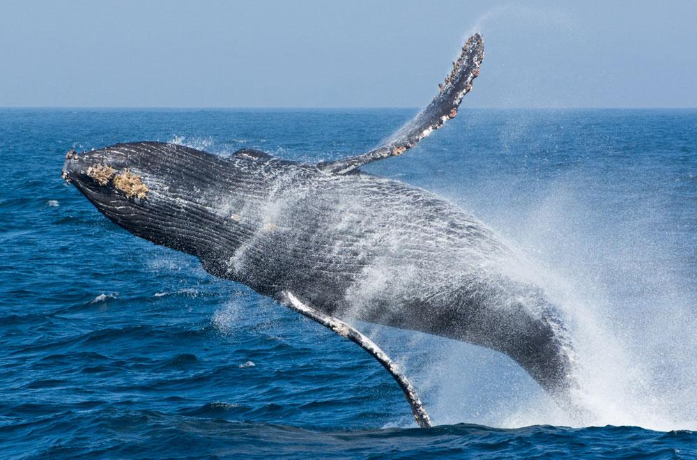 Blue Whale Challenge - Wikipedia