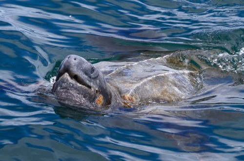 Leatherback Turtle Monterey Bay