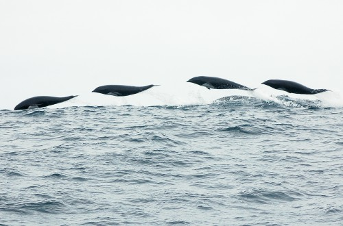 northern_right_whale_dolphin_lineup