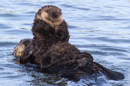 Sea Otters in Monterey Bay